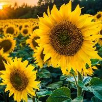 Team Sunflower profile picture